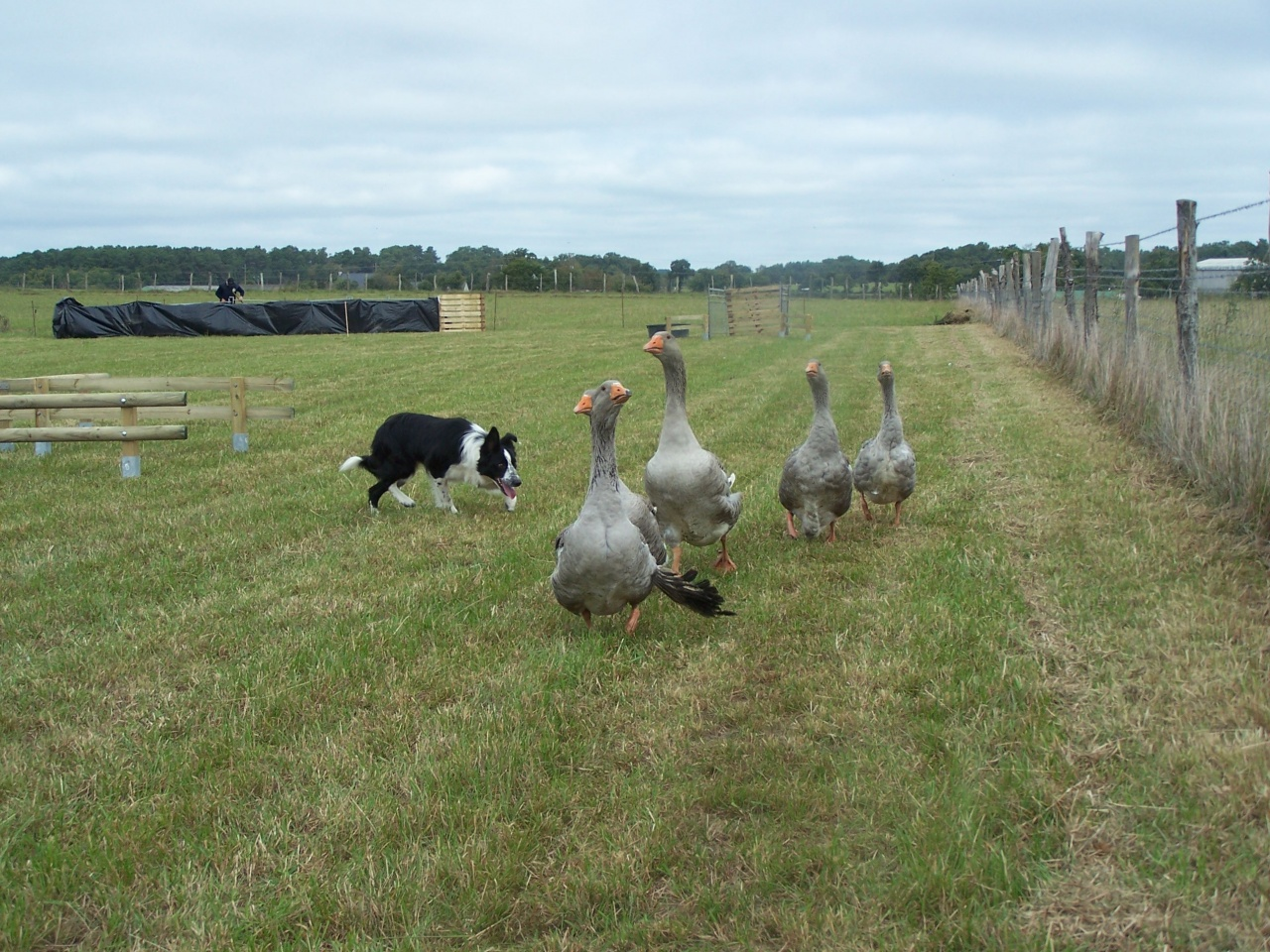 concours oies 9 octobre 2011 004